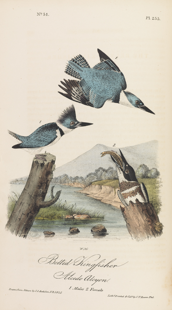 Image of Audubon's Belted Kingfisher