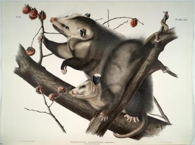 """""""Virginia Opossum from the Viviparous Quadrapeds of North America,"""" (VHS call number: Rare Books QL715 A916 1845 folio)"""